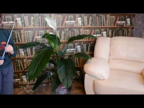 Спатифиллум Сенсация.Самый крупный голландский сорт-гигантский спатифиллум