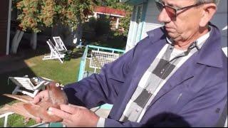 Чужое небо без Сербии... Serbian Highflyer Pigeons