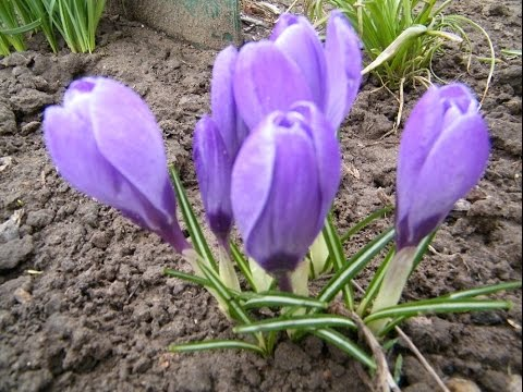 Вопрос: Какие цветки крупнее у крокуса Giant или у крокуса Blue Eyes?