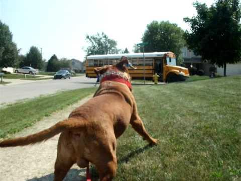 dogue de bordeaux waiting for the school bus