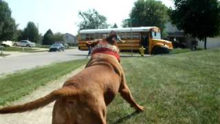 Dogue De Bordeaux Waiting For The School Bus