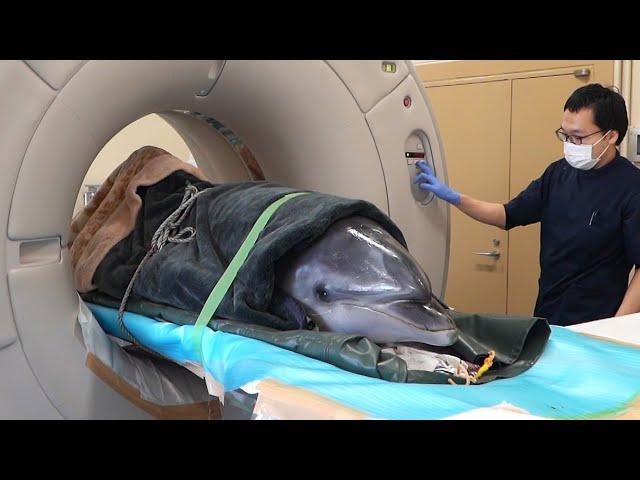 「イルカドック」実現へ 牛用CTを転用、麻酔し手術も