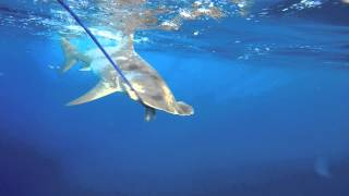 Scalloped Hammerhead Sharks   1080p