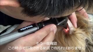 犬の耳掃除  トリミングサロン 耳鏡 Dog's ear cleaning