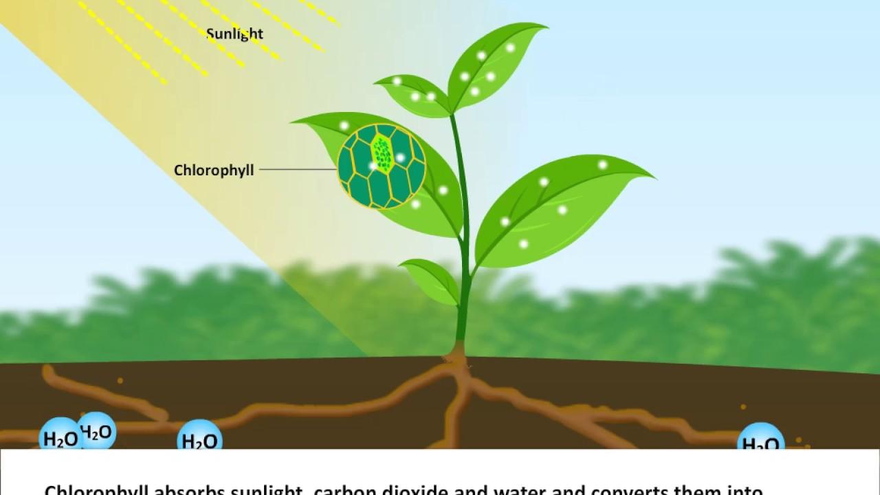 Biology Nutrition In Plants Class 7 Cbse Science Youtube