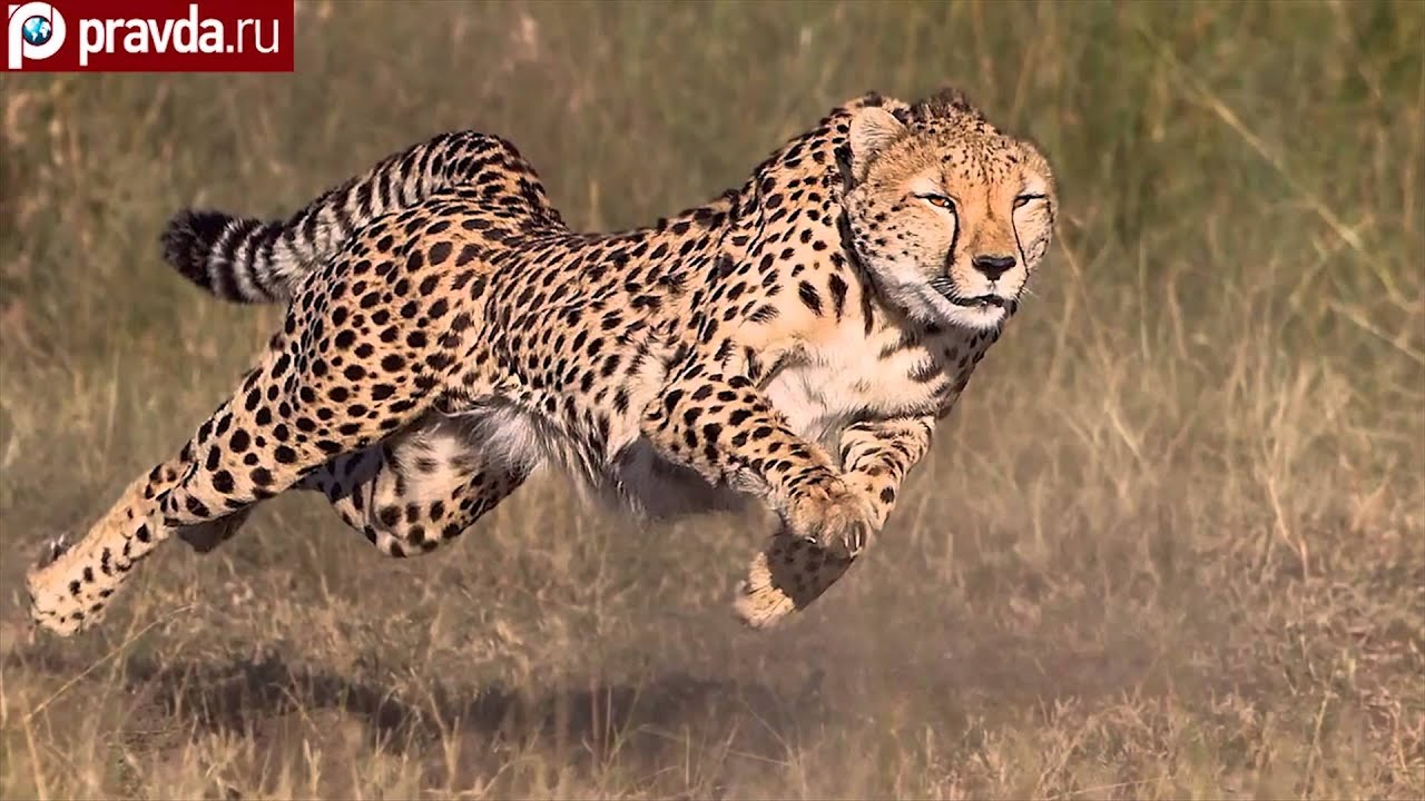cheetahs can be faster than ferrari youtube. Black Bedroom Furniture Sets. Home Design Ideas