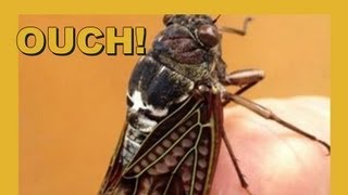 Ouch!! Drilled By Cicada!