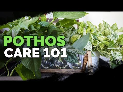 Pothos Care 101: Is This the Easiest Houseplant to Care For?