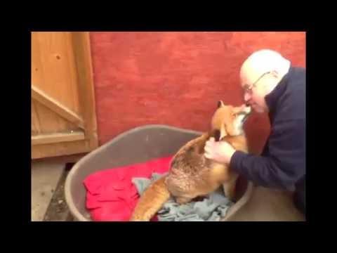 Señor tiene a un zorro de mascota!
