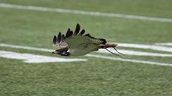 Taima the Seattle Seahawks live hawk mascot pregame preparation