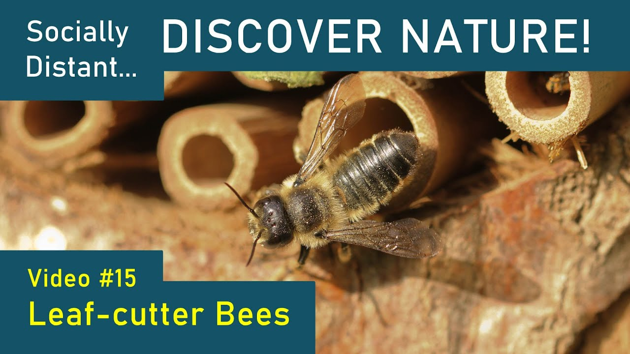 Socially Distant Discover Nature #15 - Leafcutter Bees