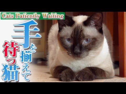 手を揃えて待つ猫