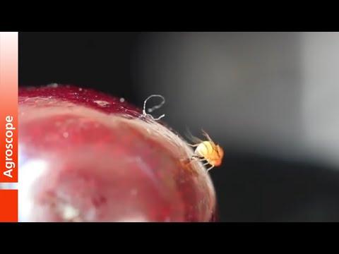 Eiablage der Kirschessigfliege Drosophila suzukii