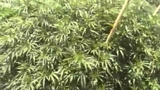 Die Größte Marihuana Plantage der welt !!!