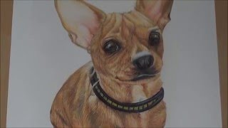 Willow- Chihuahua Timelapse Drawing