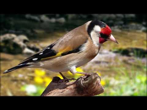 Красивое пение щегла - Goldfinch Singing - ΚΑΡΔΕΡΙΝΑΣ ΕΚΠΑΙΔΕΥΤΙΚΟ