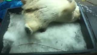Белый медведь и первый снег смотреть онлайн видео от Котик Котикович в хорошем качестве