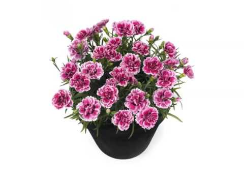 Carnation Pots | Colorful Canation Beautiful Pictures