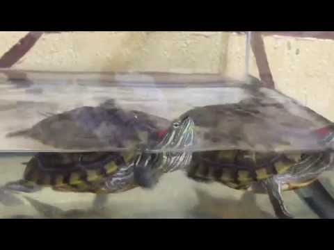 Red Eared Slider Turtles | Trachemys scripta elegans