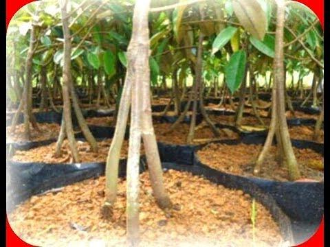 Teknik Sambung Kaki Ganda Pada Durian