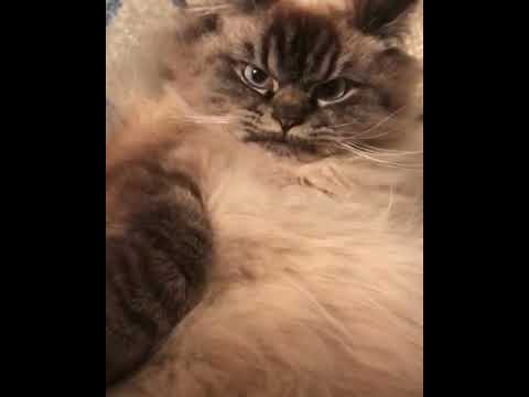 Merlin the angry rag doll cat!