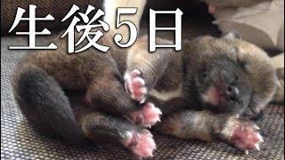 【生後5日】まだ目が開いていない柴犬の赤ちゃん、ただ見ているだけで癒される