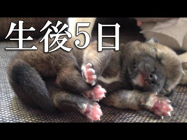 【生後5日】まだ目が開いていない柴犬の赤ちゃん / 5-days-old Shibainu puppy