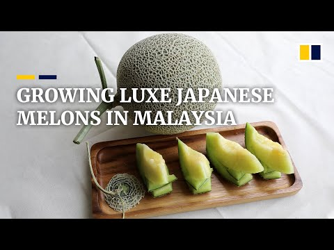 Massage and music: Malaysian farmers crack the code for growing luxe Japanese muskmelons