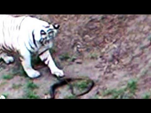 Black Cobra Kills White Tiger – Cobras org