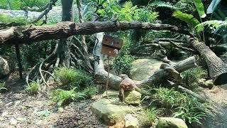 Зоопарк Сингапура, охота дикой кошки.