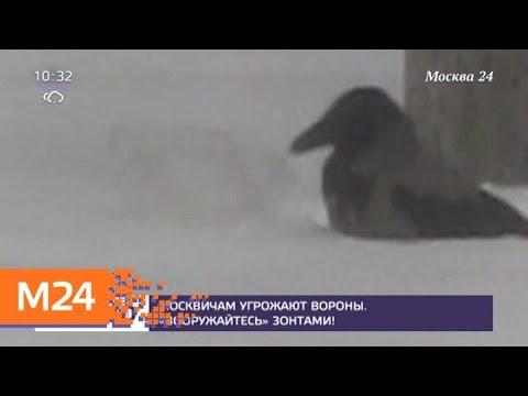 Москвичам посоветовали защищаться зонтами от агрессивных ворон - Москва 24