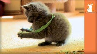Fluffy Kitten VS. Rubber Bands VS. SNEAK ATTACK! - Kitten Love