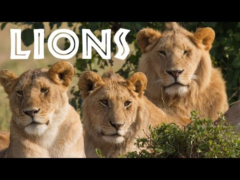 All About Lions for Children: Animal Safari Videos for Kids - FreeSchool