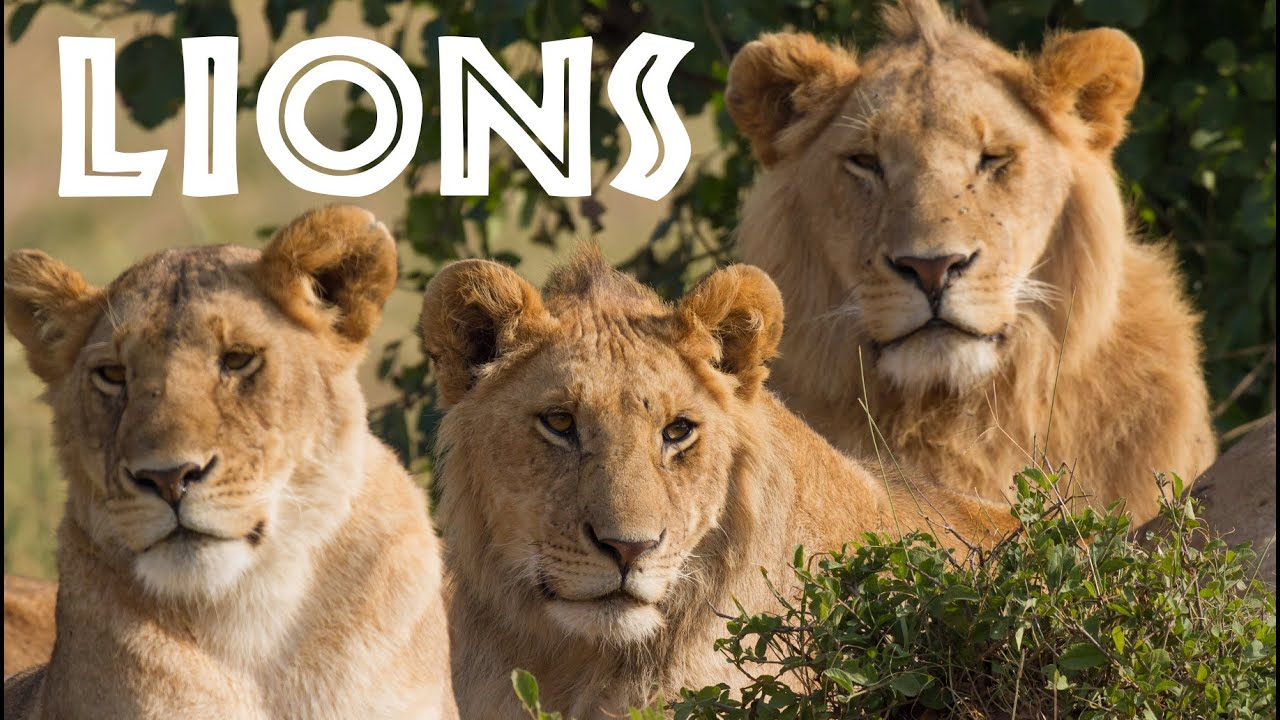 hight resolution of Lion Facts for Kids