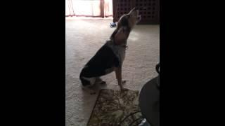 Beagle Howl Aroo- Sega Protests Alarm Tone