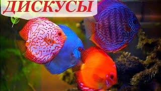 Дискусы в аквариуме, содержание дискусов и уход, разведение, совместимость, чем кормить.