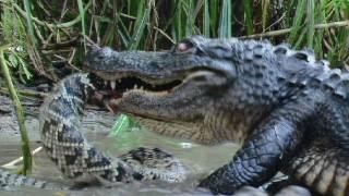 Florida's Venomous Snakes 10/10 - Diamondback Rattlesnake