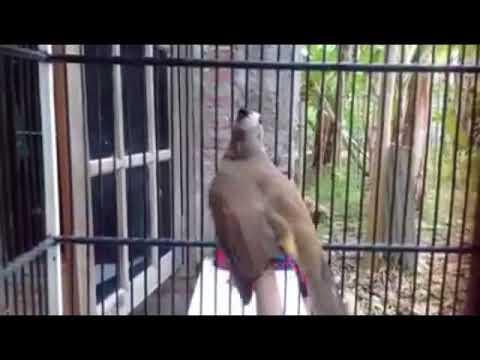 Suara Burung TRUCUK untuk TERAPI trucuk BAKALAN DAN BISU cepat ROPEL terbukti AMPUH