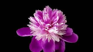 Flowers Video Live Wallpaper screenshot 4