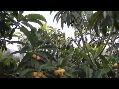 Big Jim Loquat & Champagne Loquat Trees