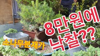 문경새재 민속품경매장/소나무분재경매/눈향나무 가격은?