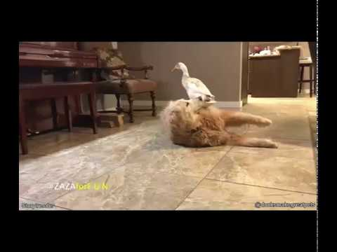 duck is jumping on a dog