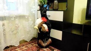 Смешное видео. Доберман -любимая собака.Лапу дай.