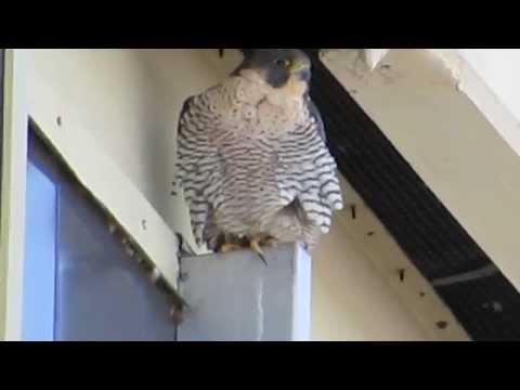 RHM Peregrine Falcon Pair Chase Off Bald Eagle & Red- Tailed Hawk @ Boeing Aerospace Bld
