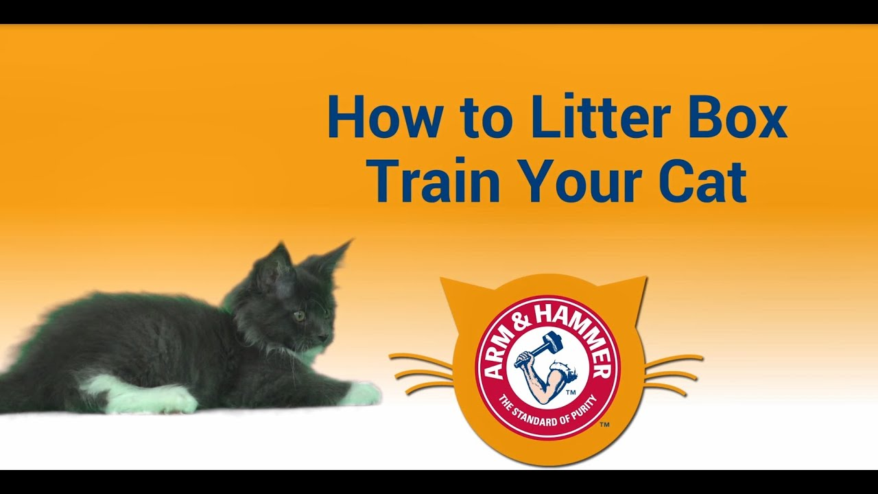 How To Litter Box Train A Kitten Arm Hammer Cat Litter
