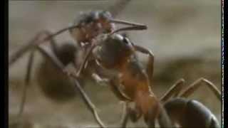 "Microcosmos - ""Ants"""
