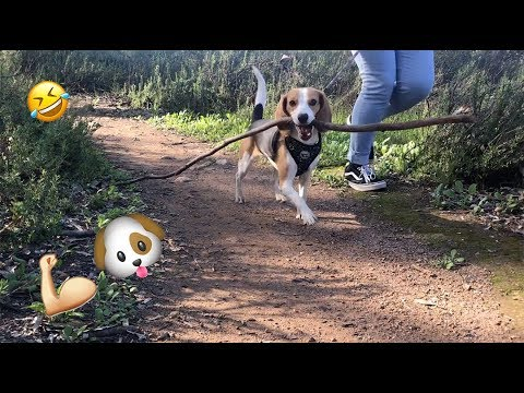 Beagle Collects A Huge Stick