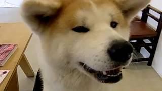 2017年11月29日撮影。 あいにいける秋田犬ののちゃん(大館ゼロダテアートセンター) いろいろ楽しいことしてくれたののちゃん。