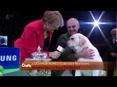 Labrador Retriever - Crufts Reserve Best in Show