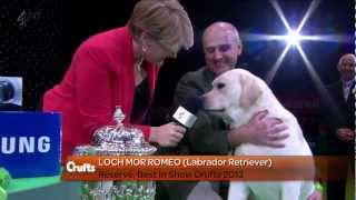 Labrador Retriever - Crufts Reserve Best In Show